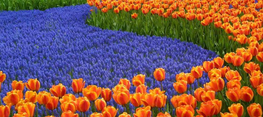 Vacaciones con niños, viendo tulipanes en Holanda