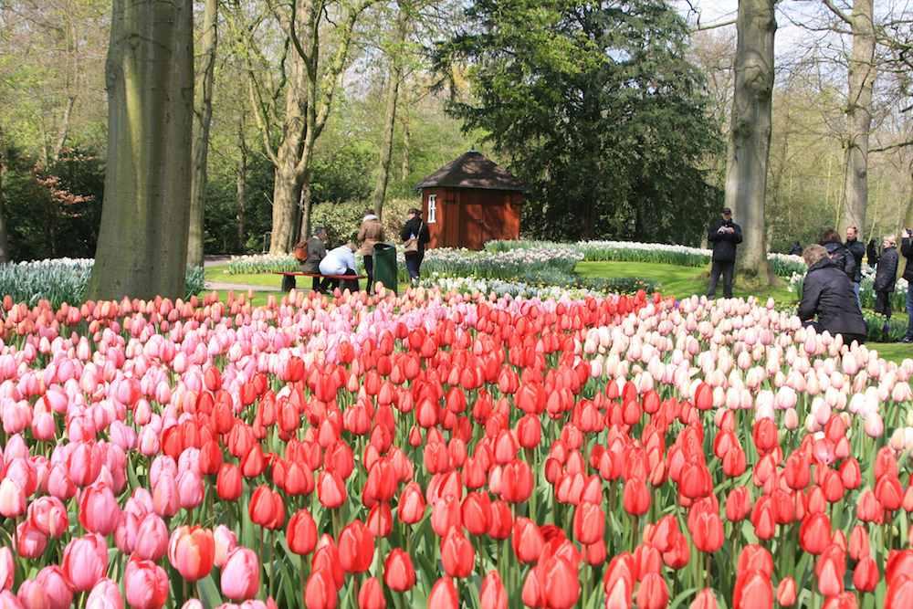 Vacaciones con ni os viendo tulipanes en holanda pequeviajes - Jardines de tulipanes en holanda ...